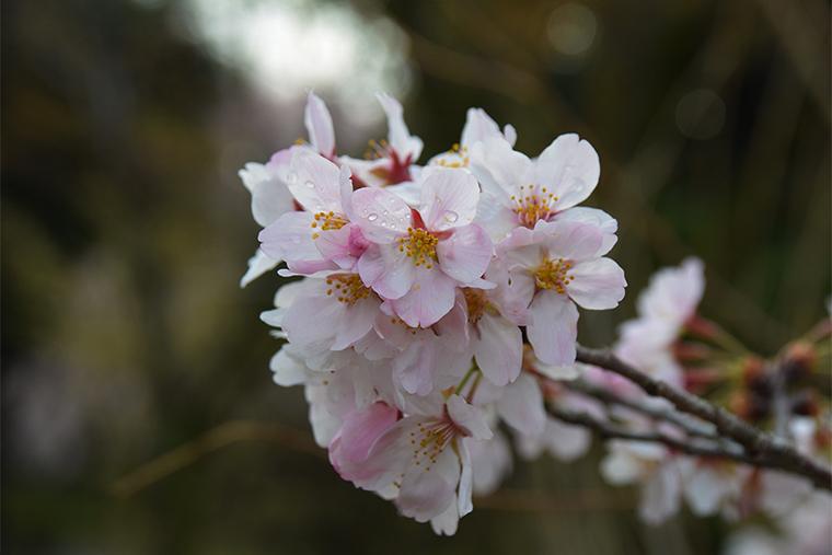 雨露に濡れた桜