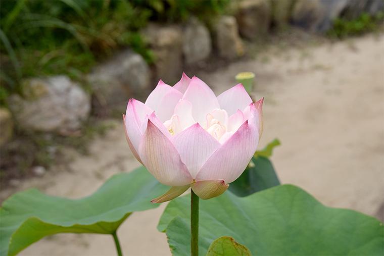 蓮の花(横から)