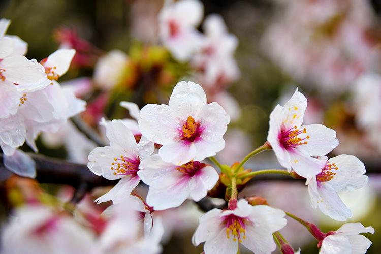雨にも負けぬ桜