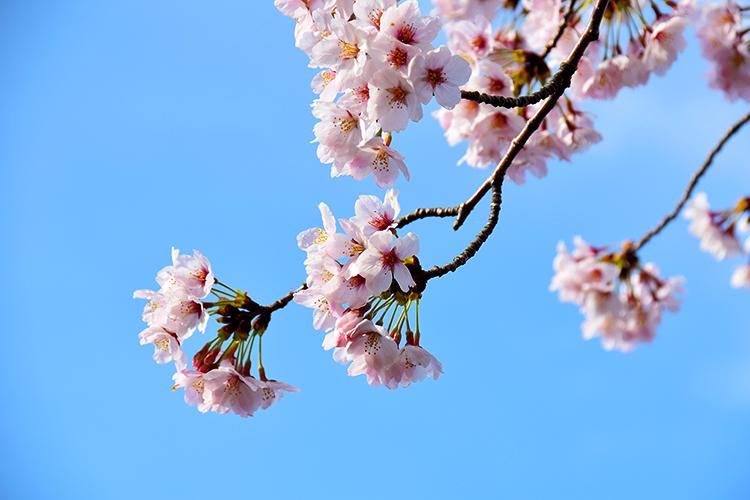 空に伸びる桜