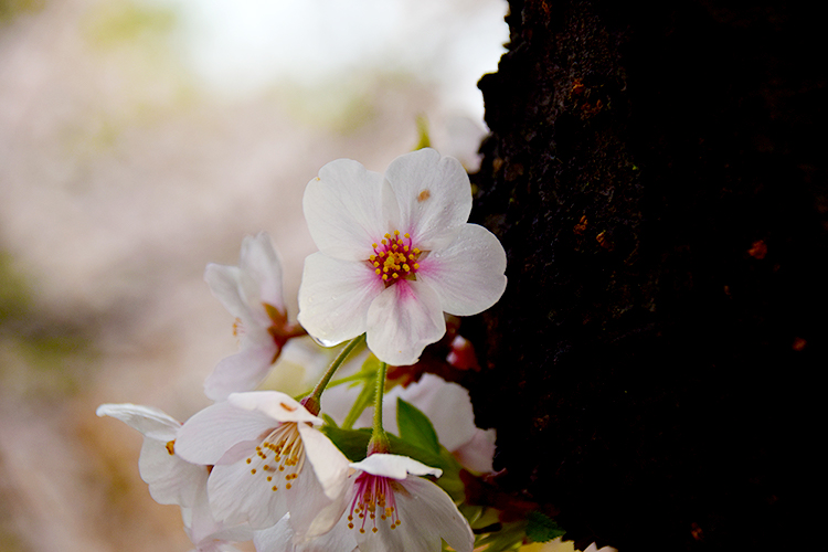 朝露の滴る桜