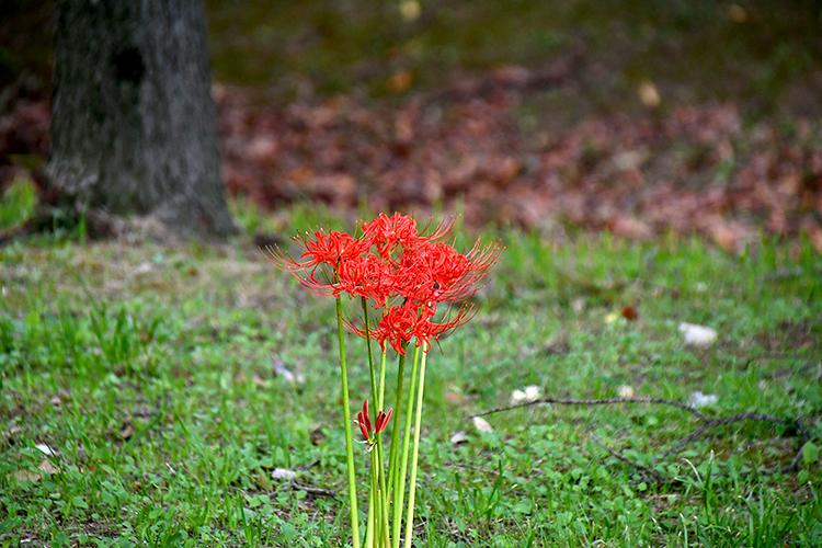 野原に咲く彼岸花