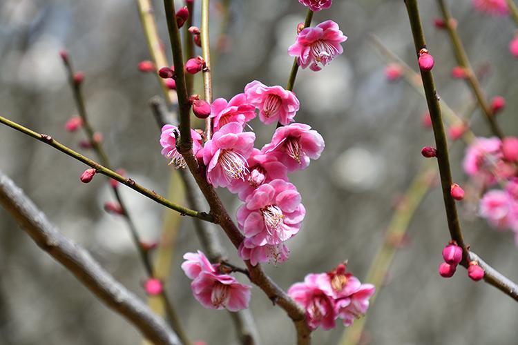 ピンク色の梅の花