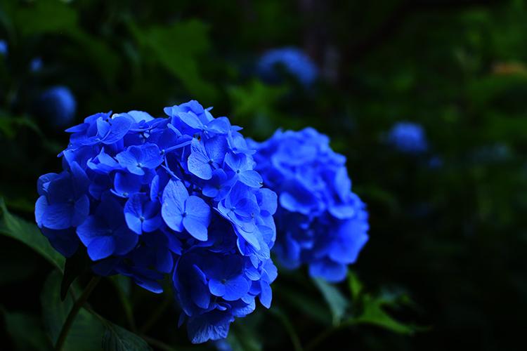 夕刻の青い紫陽花
