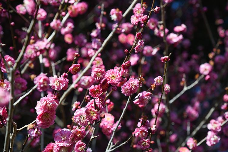 ピンク色の梅の花2