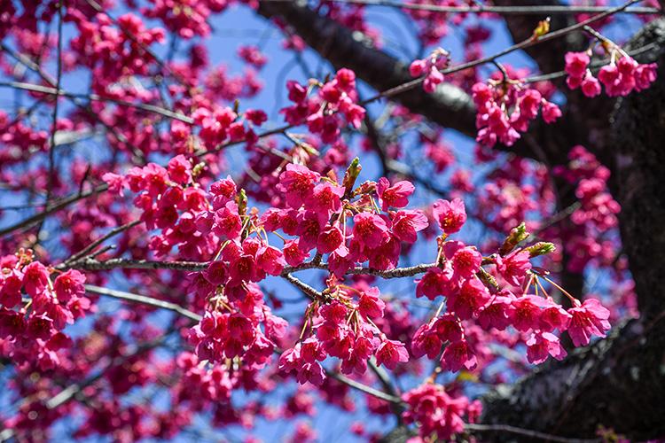 濃い色の寒緋桜