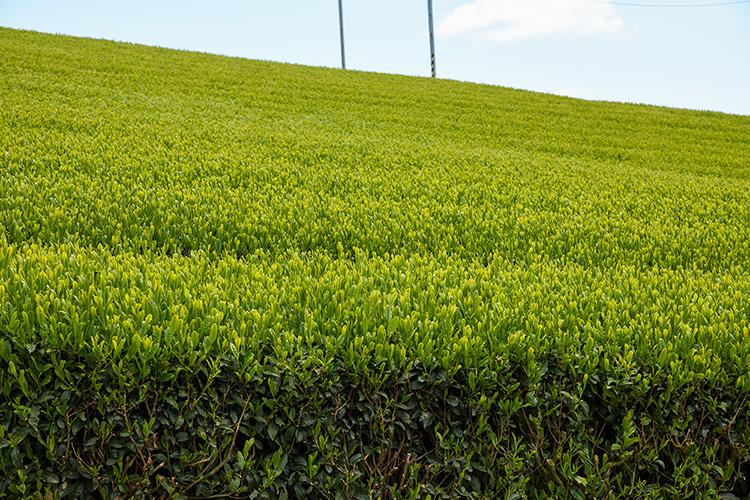 段々畑な茶畑