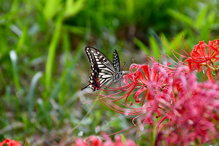 彼岸花の蜜を食すアゲハチョウ